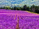 Tour 8 - Beauty of Lavender - Half day